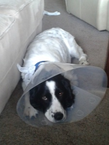 Unhappy AJ wearing cone