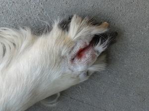 AJ's sore cheatgrass paw