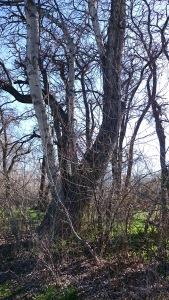 A.J. climbed this tree.